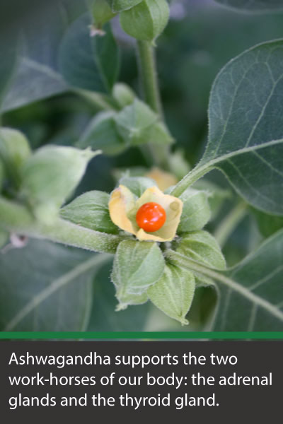 ashwagandha eliminates fatigue by supporting the adrenal and thyroid glands