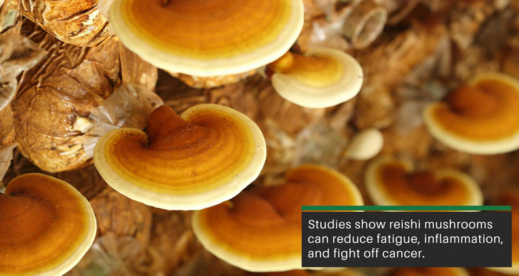 reishi mushrooms can boost immune function and reduce fatigue