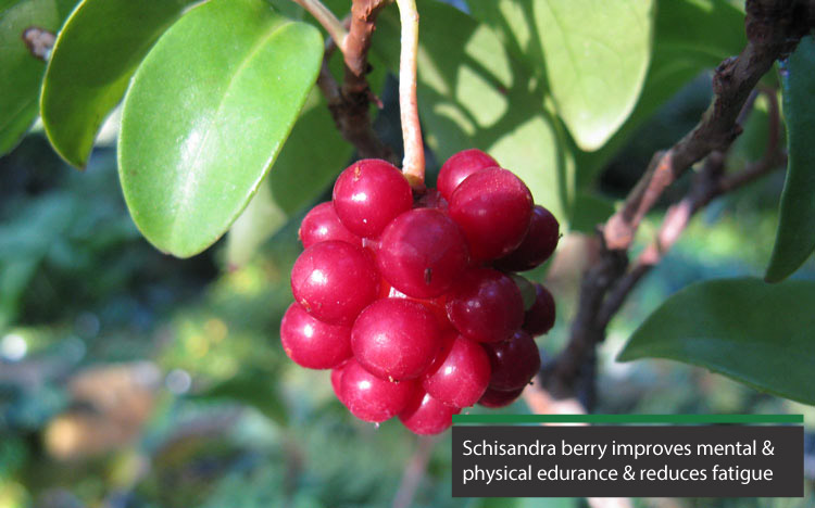 schisandra berry can improve mental and physical endurance