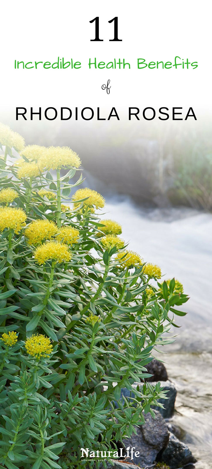 Rhodiola rosea is a powerful adaptogenic herb that's packed with a wide range of health benefits. Science has shown that it's effective for increasing your energy, fighting fatigue, alleviating stress and depression, increasing your physical performance, and so much more. Click to learn more about how rhodiola can benefit you.