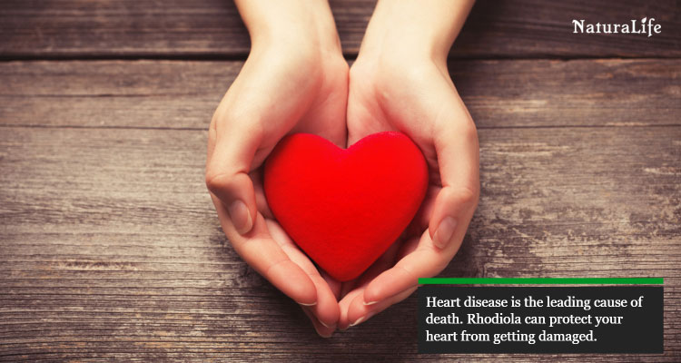 rhodiola protects the heart from damage